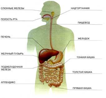 Органы пищеварения. Диета. похудение.