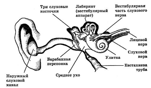 человека - Орган слуха и