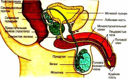Диета. Половые органы мужчин.