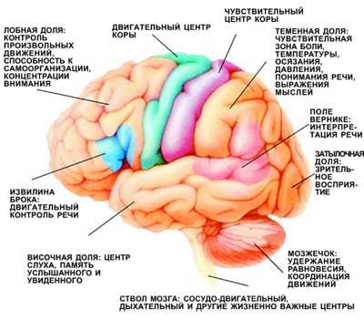Функциональные зоны мозга.  При нарушении кровоснабжения определенных участков мозга у больных возникают...